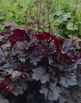 'Palace Purple' coral bells (Heuchera micrantha) has deep purple foliage and creamy white flowers on tall flower spikes.