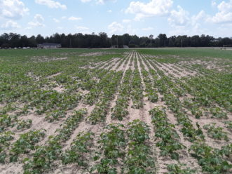 This squash field is exhibiting an irregular growth pattern due to a high population of root knot nematodes.