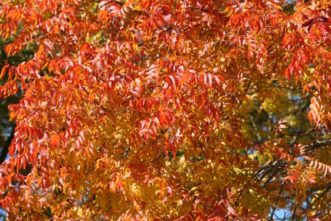Chinese pistache trees are ablaze with color in November. Pistache will make the best fall color when grown in full sunlight.