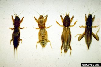 As a comparison, above are the northern, short-winged, tawny, and Southern mole crickets.