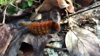 Legend has it that woolly caterpillar's (Pyrrharctia isabella) coloration will predict the weather for the upcoming winter. The more brown it has on its body, the milder the winter.