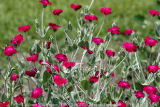 Rose Campion (Lychnis coronaria) is a clump forming, short-lived perennial that freely spreads by seed. It flowers during the summer months with rose-magenta blooms that contrast well with its gray-green foliage.