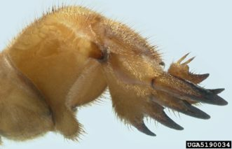 The forelegs of mole crickets are strong, flattened, and have 4 claw-like projections for digging.