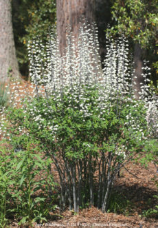 The white-flowered false indigo (Baptisia alba) forms a 3 – 4 foot, multi-stemmed clump and blooms in April.