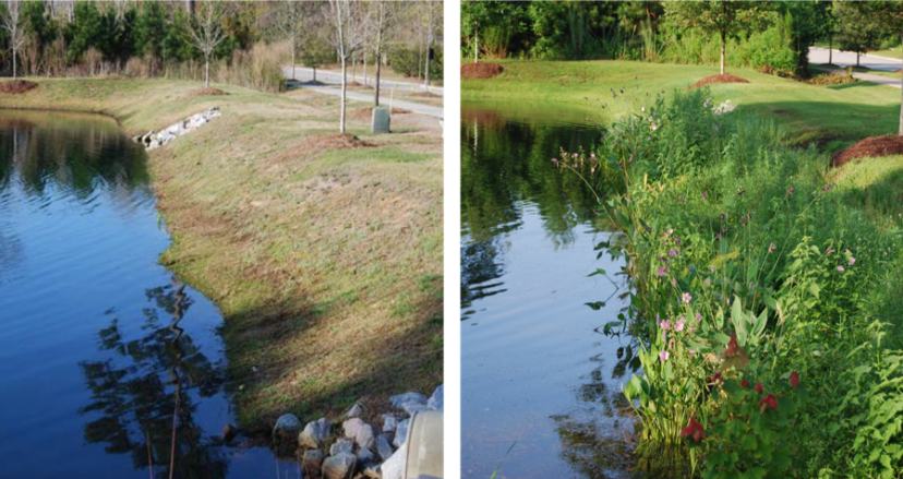 Before and after view of a planted shoreline.