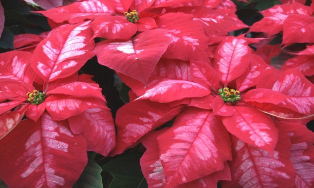 Caring for Your Poinsettia during the Holidays