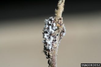 Woolly apple aphids on twig.