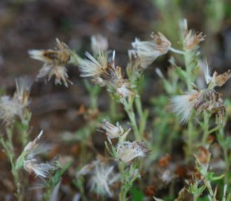 Annual trampweed (Fecelis retusa) is a winter annual weed that becomes established in lawns that are mowed very low and not irrigated or fertilized adequately. The fluffy seeds will blow in the wind. For more information, see HGIC 2319, Annual Trampweed. Joey Williamson, ©2015 HGIC, Clemson Extension