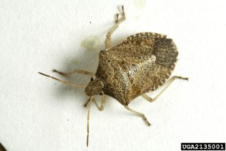 Brown stinkbug (Euschistus servus). Herb Pilcher, USDA Agricultural Research Service, www.insectimages.org