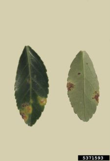 Cercospora leaf spot on Japanese euonymus (Euonymus japonicus). Division of Plant Industry Archive, Florida Department of Agriculture and Consumer Services, www.forestryimages.org