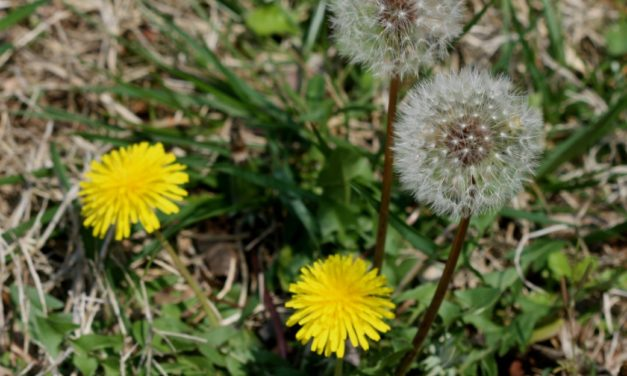 Managing Weeds in Fescue Lawns