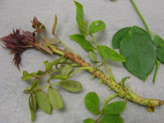 Rose with Rose Rosette Disease showing symptoms of reddened new growth, thicker stem, excessive thorns, and smaller leaves. Meg Williamson, Plant Problem Clinic, Clemson University