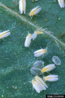 Silverleaf whiteflies (Bemisia argentifolii). Scott Bauer, USDA Agricultural Research Service, www.insectimages.org