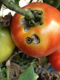 Tomato fruit worm (Helicoverpa zea) damage. Zachary Boone Snipes, ©2015 Clemson Extension