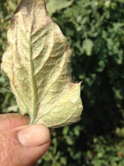 Two-spotted spider mite (Tetranychus urticae) damage. Zachary Boone Snipes, ©2015 Clemson Extension