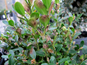 As boxwood blight advances, leaves and stems become more diseased and then defoliation occurs.