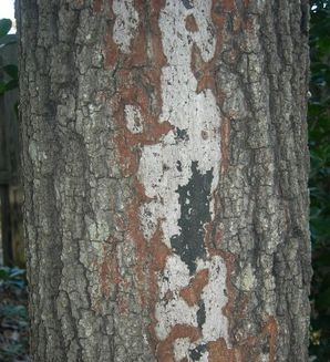 Asexual brown fungal stroma and black sexual stage of Hypoxylon on oak. Meg Williamson, Plant Problem Clinic, Clemson University