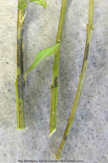 Boxwood blight may also cause black necrotic lesions or cankers on the stems.