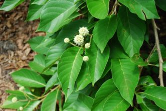 Buttonbush leaves and flowers Cephalanthus occidentalis) in mid-August in the SC Botanical Garden, ©Clemson, SC.