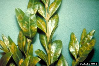 Distorted, splotchy leaves afflicted with boxwood leaf miners.