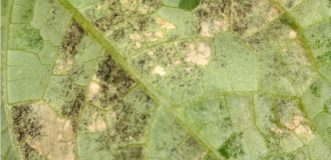 Downy mildew spores on lower leaf surface. Zachary Boon Snipes, ©2015 Clemson Extension