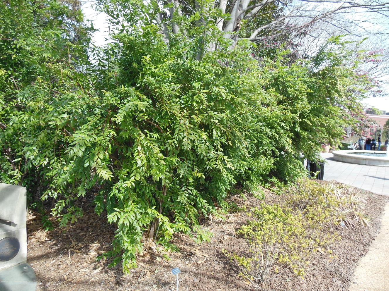 Florida Leucothoe Home Garden Information Center