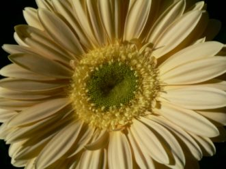 Gerbera daisies come in shades of yellow, white, pink, red, orange, lavender, salmon, and bicolored.