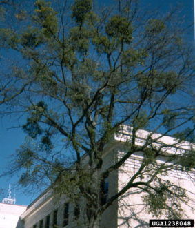 Mistletoe infestation becomes obvious during winter. Randy Cyr, GREENTREE Technologies, www.forestryimages.org