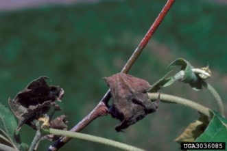 Sycamore anthracnose symptoms on leaves and twigs. Robert L. Anderson, USDA Forest Service, Bugwood.org