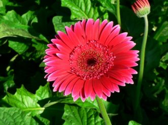 The flower of a gerbera daisy sits on a leafless stem held about 6 inches above the plant's foliage.