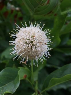 The spherical cluster of flowers of buttonbush (Cephalanthus occidentalis) resembles a pincushion due to the long styles that extend from each one of the creamy-white tubular flowers.