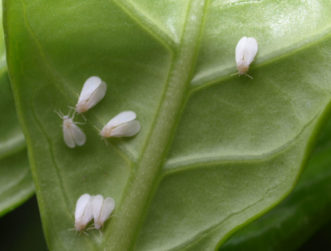 Whitefly adults (Dialeurodes citri) on underside of gardenia leaf.
