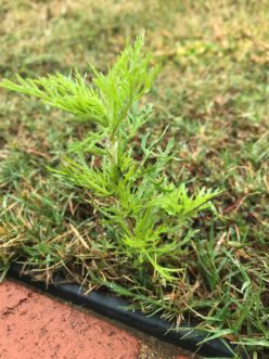 Dogfennel (Eupatorium capillifolium) seedlings can be easily pulled by hand due to little root development.