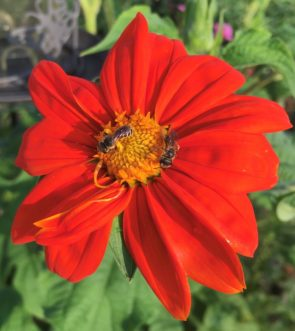 (Halictidae) collecting pollen from a Mexican Sunflower (Tithonia rotundifolia).