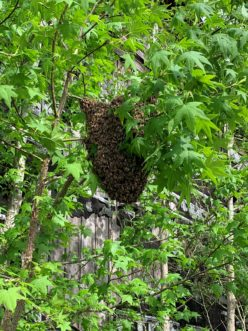 A swarm of honey bees clustered on a sweetgum tree near Conway, SC.