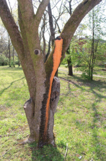 This old dogwood in Tennessee had major branches that died and were pruned. The leaking sap from the pruning wound became colonized with Fusicolla orange slime, which began running down the trunk.