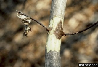 Canker on dogwood (Cornus florida) caused by Discula anthracnose (bark removed). Joseph O'Brien, USDA Forest Service, www.ipmimages.org