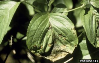 Symptoms of Discula anthracnose on dogwood (Cornus florida) leaves. Joseph O'Brien, USDA Forest Service, www.ipmimages.org