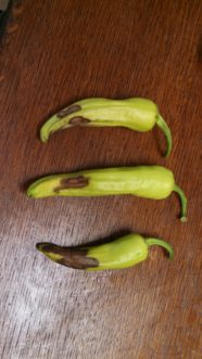 Banana peppers with blossom end rot.