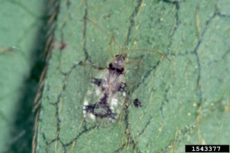 Azalea lace bug adult. Jim Baker, North Carolina State University, Bugwood.org