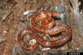 Corn snakes are more colorful than copperheads – they have several color variants but are typically redder in color. Photo Credit: Sturgis McKeever, Georgia Southern University, Bugwood.org