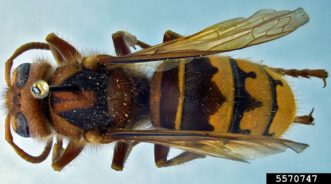 European hornets (Vespa crabro) are social insects that live in nests. They are not native to South Carolina, but they have been in the state for over 160 years. Their nests can be in many locations, such as abandoned bee hives, hollow trees, wall voids, and attics. They feed on many insect pests and are generally less aggressive than other hornets. Photo credit: Allan Smith-Pardo, Invasive Hornets, USDA APHIS PPQ, Bugwood.org