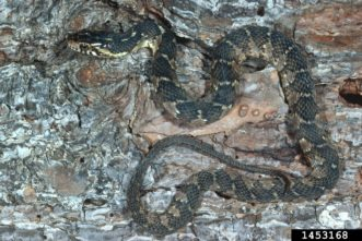 The pattern of the northern water snake is dark blotches that are narrow on the sides and wider towards the backbone. Photo Credit: Sturgis McKeever, Georgia Southern University, Bugwood.org