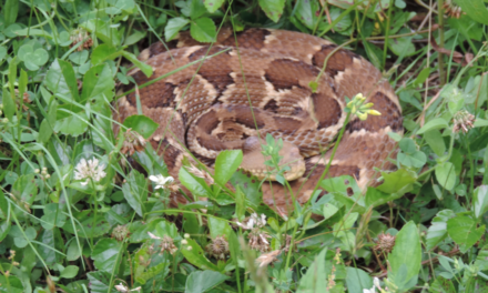 Identifying Copperhead Snakes