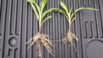 Stubby root nematodes have stunted the growth of the plant on the right and caused the majority of the roots to be short and stubby. Certain herbicides may cause a similar symptom. Justin Ballew, ©2020, Clemson Extension