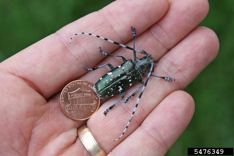 longhorned humans Asian beetle and