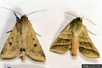 Corn earworm moths (Helicoverpa zea). Clemson University - USDA Cooperative Extension Slide Series, www.insectimages.org