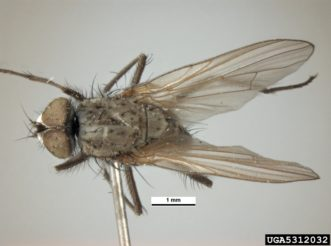 Seed-corn maggot adults (Delia platura) appear similar to small houseflies. Pest and Diseases Image Library, www.insectimages.org