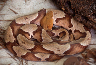 Coiled Southern Copperhead