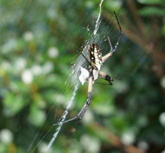 These beautiful spiders are beneficial and prey on bothersome insects, such as gnats, mosquitoes, flies, and aphids. Barbara H. Smith, ©2020 HGIC, Clemson University